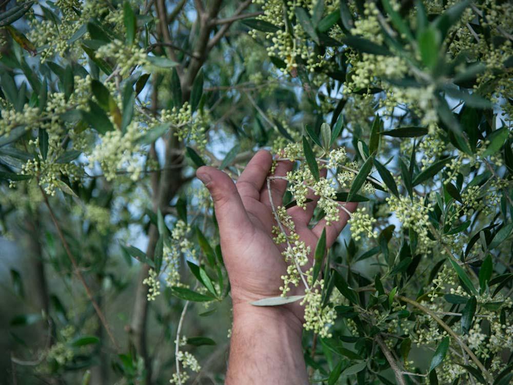Etolea-olive-oil-storie-7