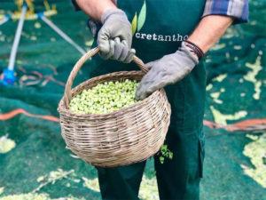 stories-cretanthos-olive-oil-συνεντευξη-ελαιολαδο-νομη-παραγωγος